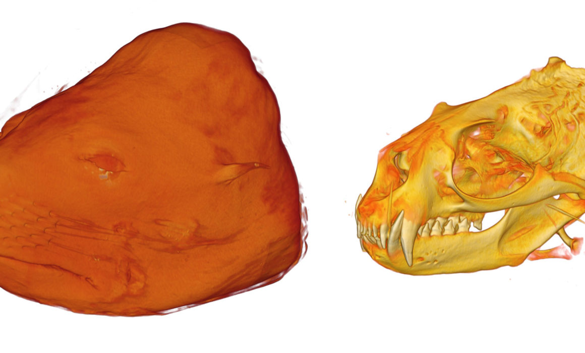 CT renders of the skulls and face of a NZ Fur Seal. Image courtesy of David Hocking