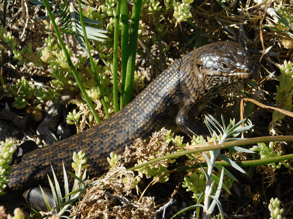 Photo of a King's skin with brown and black scales amongst plants