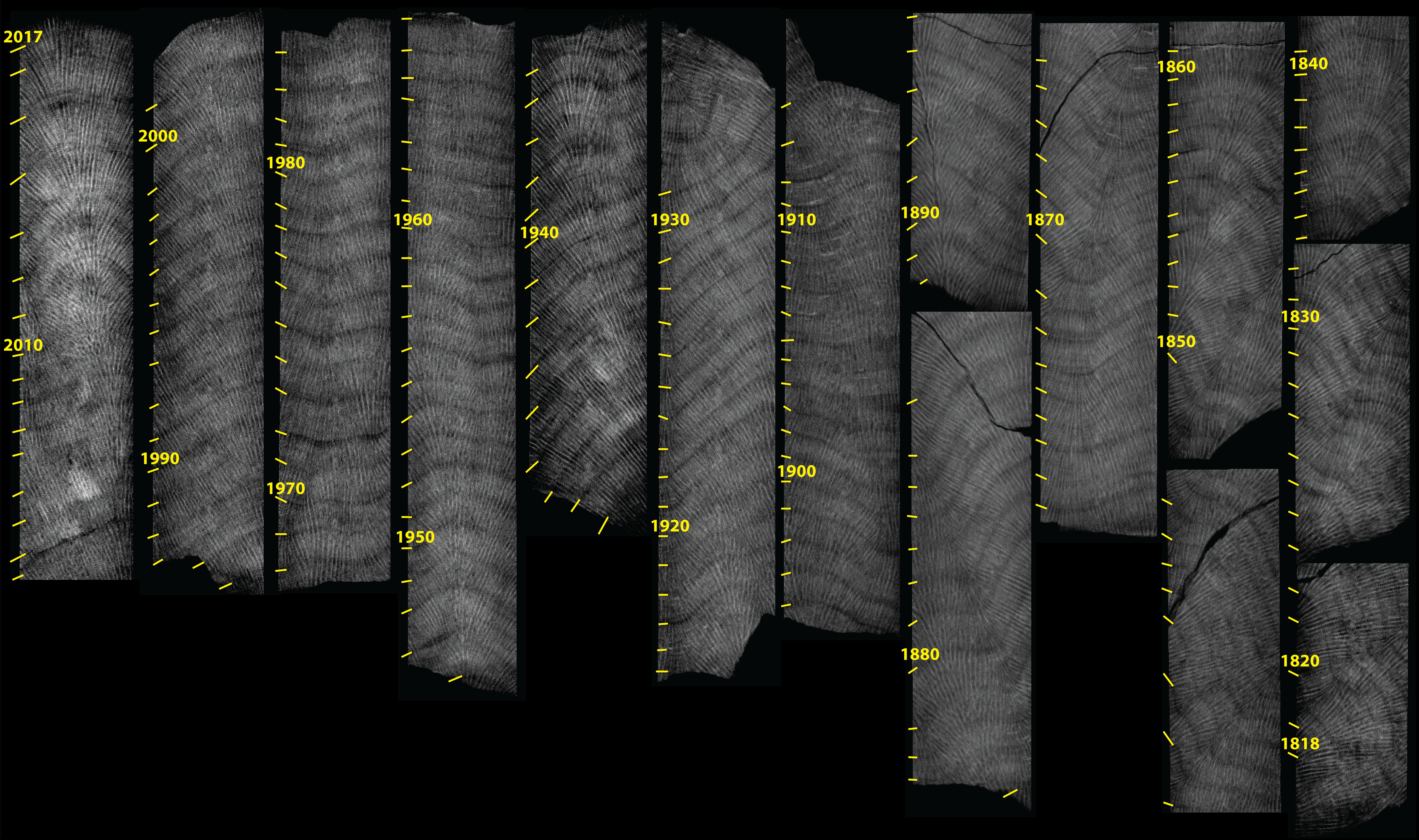 CT images showing the bands inside coral cores from 1815 - 2017